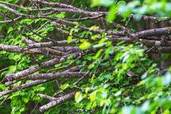 Blackcap in a bush Stock Photo