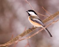 Blackcap Chickadee. A blackcap chickadee perched on a tree branch Stock Photos