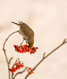 Blackcap feeding on Rowan berries Royalty Free Stock Photos