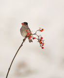 Blackcap feeding on Rowan berries Royalty Free Stock Images