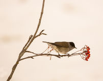 Blackcap feeding on Rowan berries Royalty Free Stock Photography