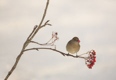 Blackcap feeding on Rowan berries Stock Photos