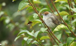 Blackcap female. Stock Images