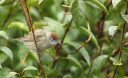 A blackcap female. Royalty Free Stock Images