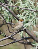 Blackcap female Stock Image