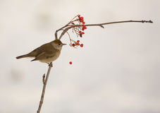 Blackcap looses Rowan berry Royalty Free Stock Images