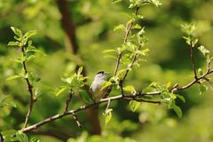 Blackcap male in garden stock image