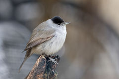 Blackcap Male Perched on Branch stock photos