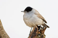 Blackcap Male Perched on Branch Royalty Free Stock Photography
