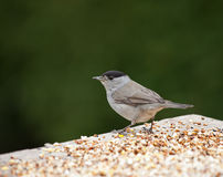 Blackcap Royalty Free Stock Images