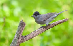 Blackcap perched on an old dry branch royalty free stock photography