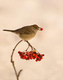 Blackcap with Rowan berry. During winter time, the pomes or berries of the European Rowan tree (Sorbus aucuparia) are vital for the survival of insectivorous royalty free stock photography
