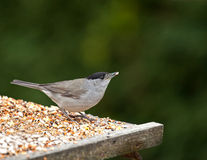 Blackcap with Seed Stock Photos