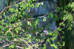 Blackcap singing on a branch Royalty Free Stock Image