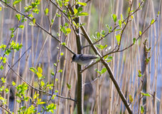 Blackcap Stock Images