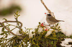 Blackcap swallowing Rowan berry. An agile male Blackcap (Sylvia atricapilla) catches a Rowan berry in the air perching on a myrtle branch surrounded by snow stock images