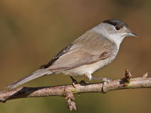 Blackcap, Sylvia atricapilla Royalty Free Stock Photo