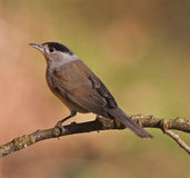 Blackcap, Sylvia atricapilla Stock Photography