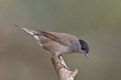 Blackcap, Sylvia atricapilla Royalty Free Stock Photography
