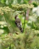 Blackcap (Sylvia atricapilla) bird on hogweed Stock Images