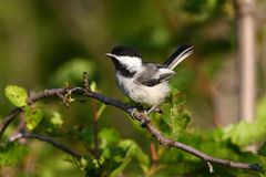 blackcapped chickadee Obraz Royalty Free