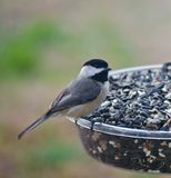 Blackcapped Chickadee on Feeder. A Blackcapped Chickadee Perched on Feeder in Tennessee in Spring stock photos