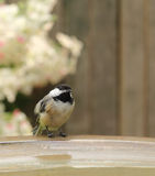Blackcapped Chickadee, Poecile atricapilla Stock Images
