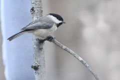 Blackcapped chickadee. Sitting on a single branch Royalty Free Stock Photography