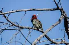 Blackcollared热带巨嘴鸟 库存照片