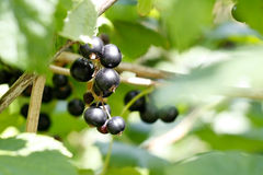 Blackcurrant Stock Photo