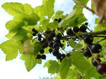 Blackcurrant. In a bush with many berries Royalty Free Stock Images