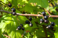Blackcurrant. Banch with ripe berries Royalty Free Stock Photos