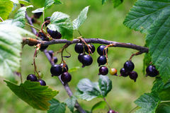 BLACKCURRANT royalty free stock images