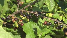 Blackcurrant. zdjęcie wideo