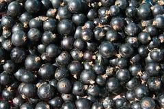 Blackcurrant. Fresh blackcurrant macro detail picture. Background Royalty Free Stock Photos