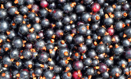 Blackcurrant background. Royalty Free Stock Photography