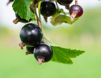 Blackcurrant Royalty Free Stock Photos