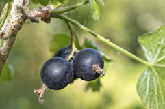 Blackcurrant berries Stock Photo