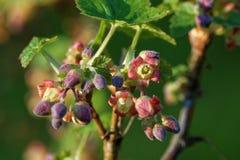 Blackcurrant bloemen Stock Afbeelding