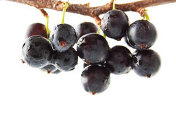 The blackcurrant on the branch Royalty Free Stock Photography