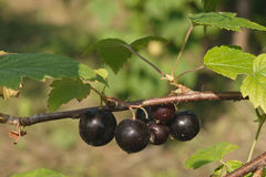 Blackcurrant on branch Royalty Free Stock Photos