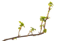 Blackcurrant branch at early spring Stock Images