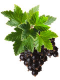 Blackcurrant bunch (Ribes Nigrum), clipping path Royalty Free Stock Photos