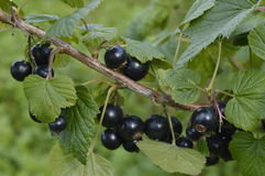 Blackcurrant bush. And bunches of black currant royalty free stock photography