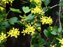 Blackcurrant flowers in bloom. Beautiful yellow flowers of blackcurrant bush in early spring Stock Images