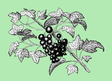 Blackcurrant on green background Royalty Free Stock Images