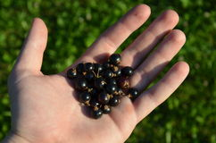 Blackcurrant in hand Royalty Free Stock Photo