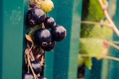 Blackcurrant in het spinneweb op groene achtergrond stock foto's