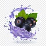 Blackcurrant juice splash. Forest berries smoothie. Vector realistic illustration.  Vector Illustration