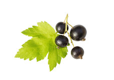 Blackcurrant and  leaf Stock Image